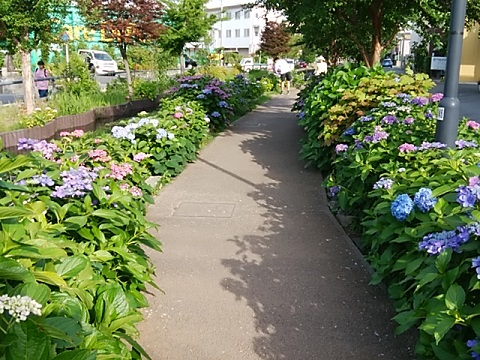 江川せせらぎ遊歩道紫陽花