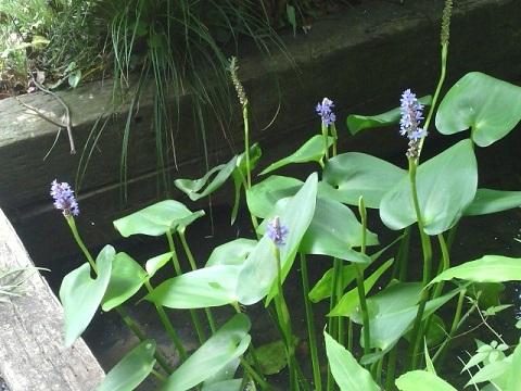 長善寺の水葵