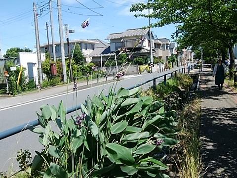 江川せせらぎ遊歩道の水葵