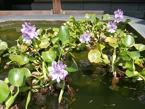 寶泉寺の布袋葵