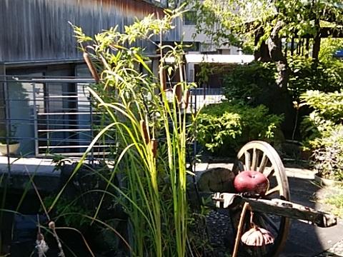 歓成院のガマの穂