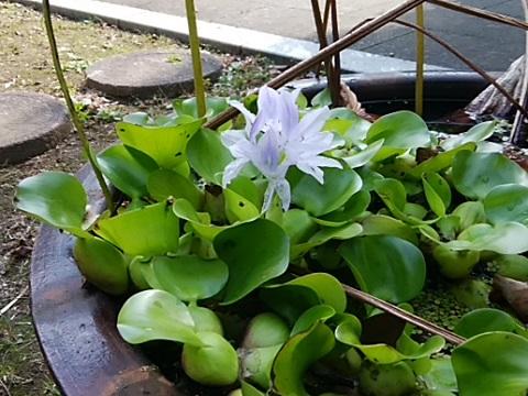 高願寺の布袋葵