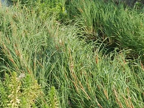矢上川のガマの穂