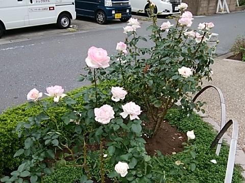 生田緑地秋バラ2018
