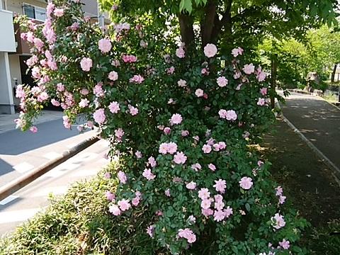 江川せせらぎ遊歩道のバラ