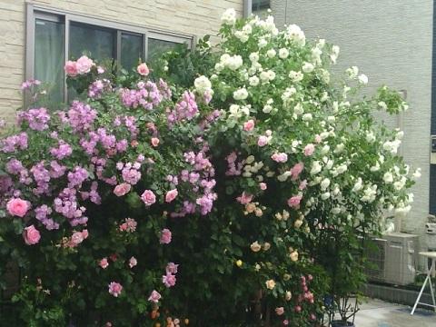 K's Rose Gardenバラ