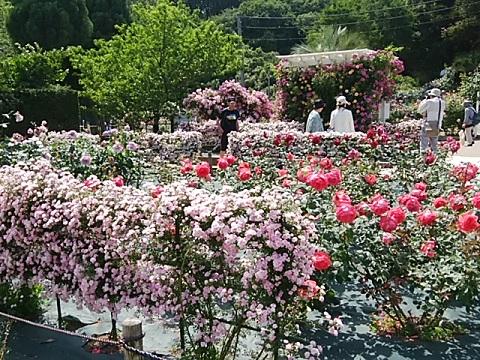 生田バラ園2018春