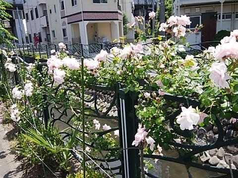二ヶ領用水北見方1丁目のバラ
