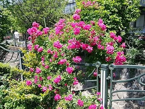 二ヶ領用水北見方3丁目のバラ