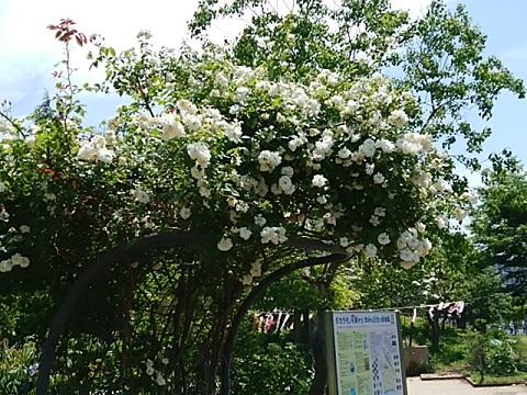さいわいふるさと公園のバラ