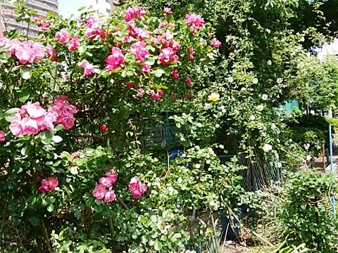 さいわい緑道のバラ