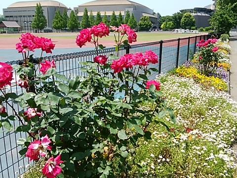 等々力緑地のバラ
