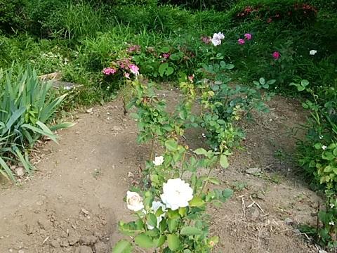 久本薬医門公園のバラ