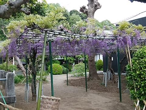 金蔵寺の藤