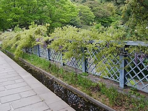 ささふね橋の藤