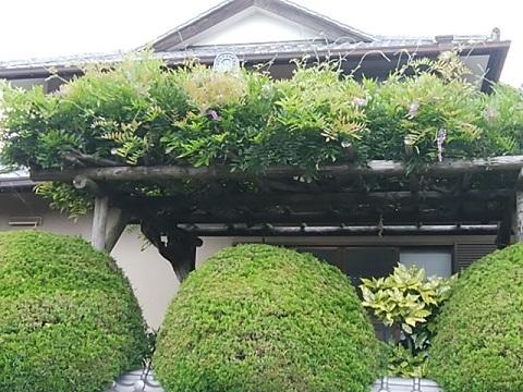 宗忠寺の藤棚