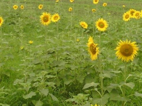早野のひまわり畑