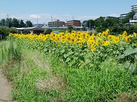 恩田川のひまわり畑