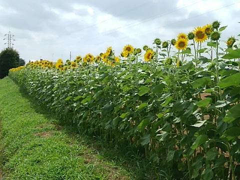 菅田・羽沢農業専用地区の畑のひまわり;