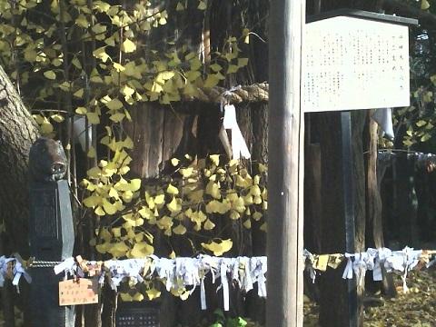 稲毛神社イチョウ