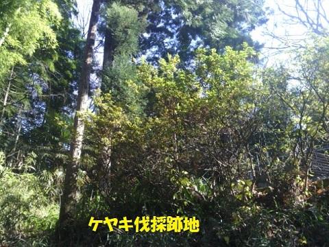 寿福寺ケヤキ