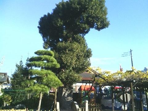 丸山教本庁クスノキ