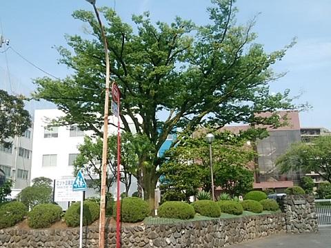 坂戸ケヤキ