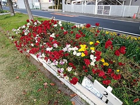 矢上川土手菊
