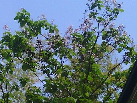 久末の桐の花