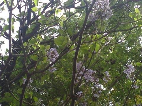 新吉田町の桐の花