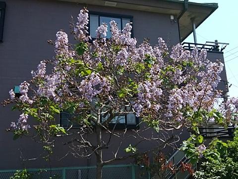 環状2号線桐の花