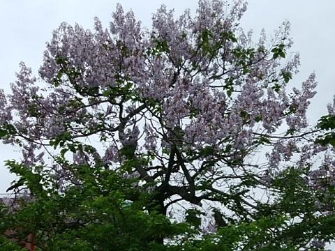 鷹匠橋桐の花