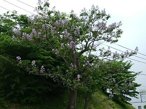 十日市場歩道橋の桐の花