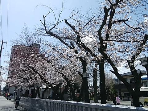 大師駅前のコブシ並木
