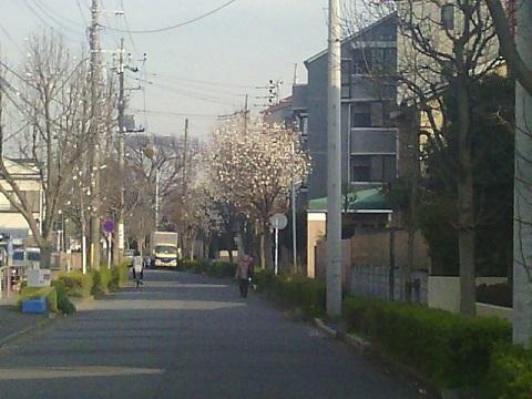 二子・坂戸・北見方のコブシ並木