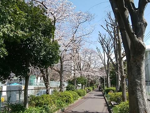 南河原公園のコブシ並木