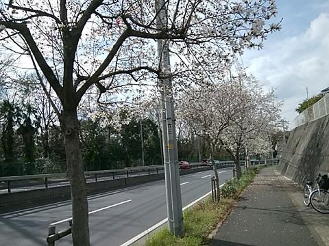 三枚町の坂道のコブシ