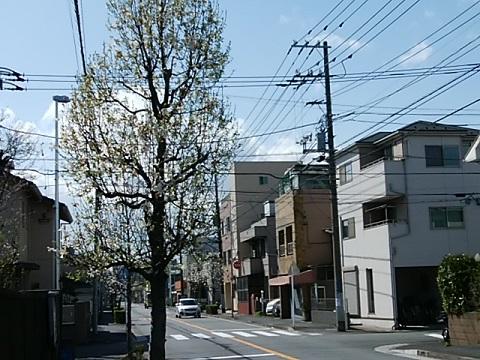 殿町2丁目のコブシ並木