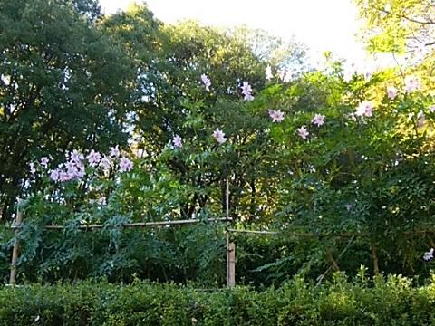 四季の森公園皇帝ダリア