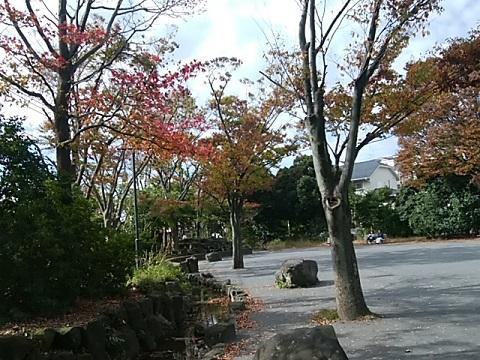 菊名池モミジバフウ