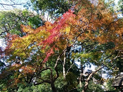 豊顕寺市民の森モミジ