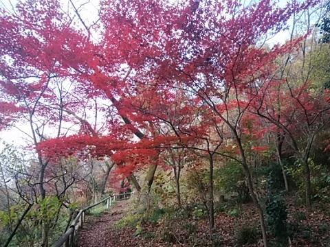 浄慶寺モミジ
