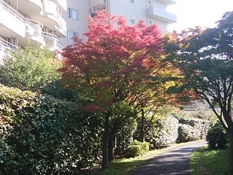 京町緑地モミジ