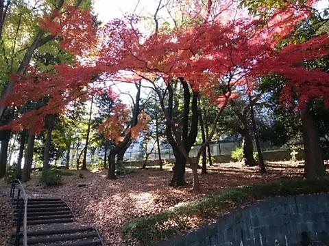 三ッ沢公園モミジ