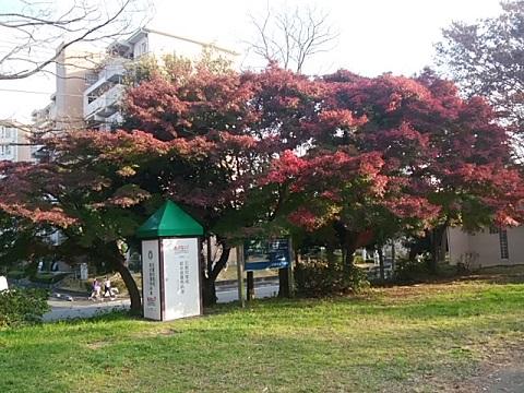 虹ヶ丘公園モミジ