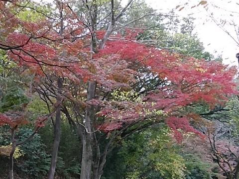 大倉山公園モミジ