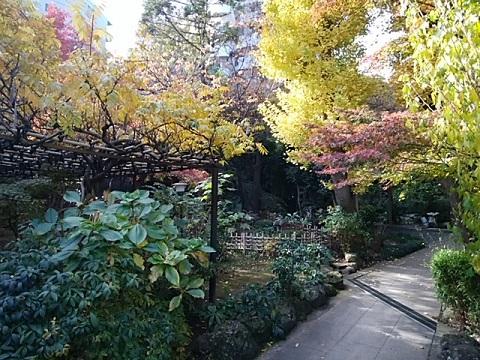 専念寺庭のモミジ