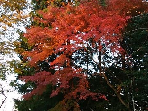 高石神社モミジ