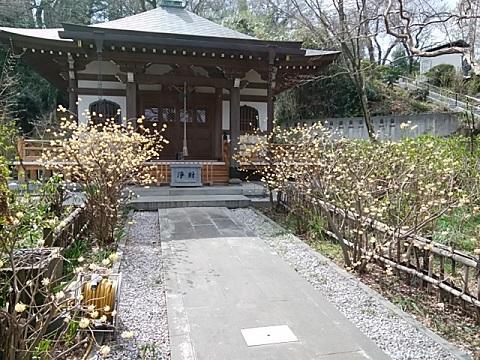 妙楽寺ミツマタ