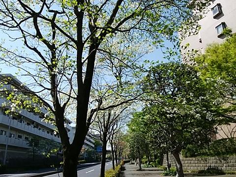 茅ヶ崎のハナミズキ並木